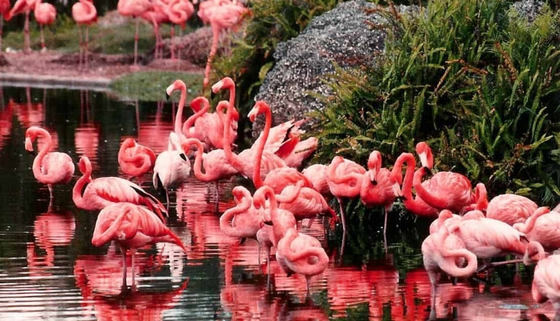 a-flock-of-flamingos-1525058